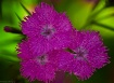 Three Dianthus