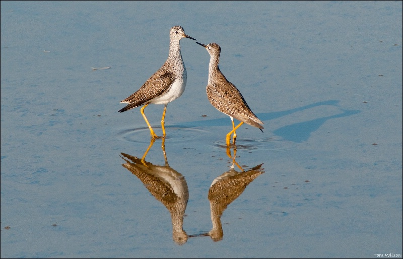 Lesser Yellowlegs Standoff - ID: 11616358 © Thomas R. Wilson