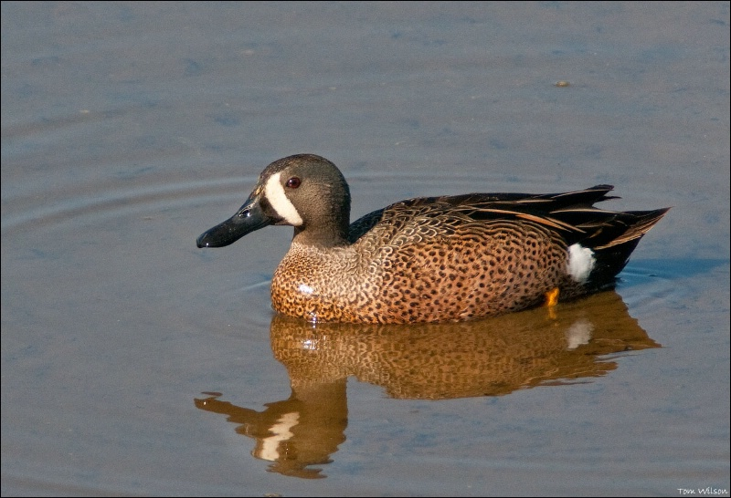 Blue-winged Teal - ID: 11616359 © Thomas R. Wilson