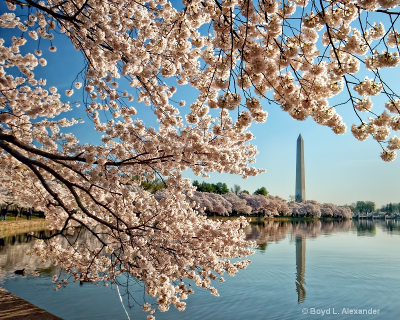 Cherry Blossoms around the Washington Monument