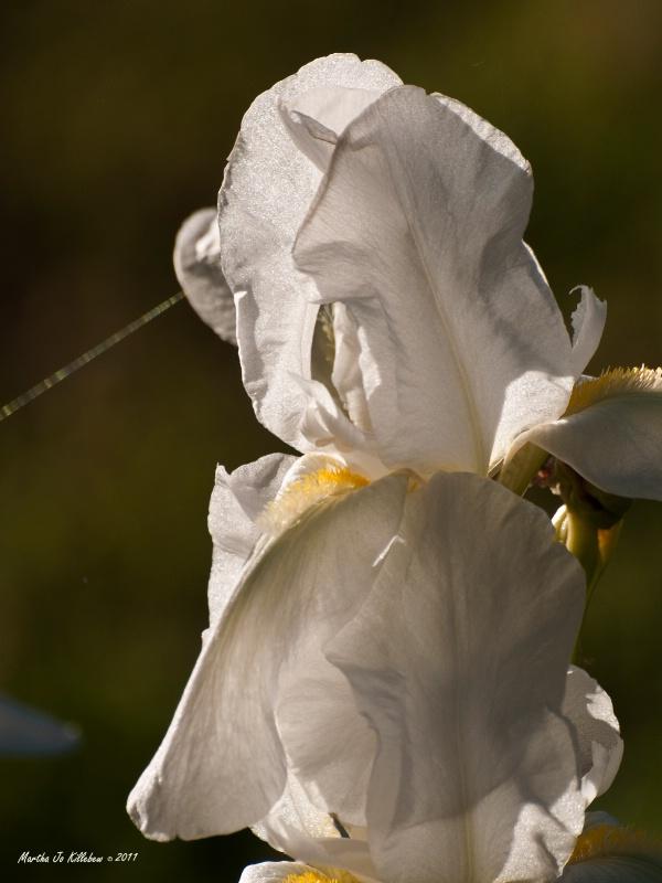 White Iris 2