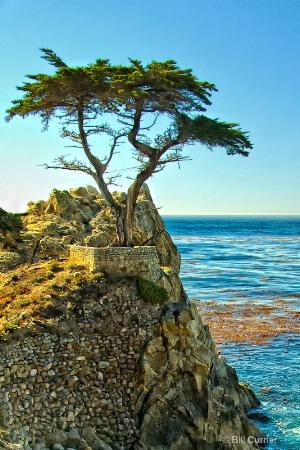 Cypress Tree - Monterey Ca