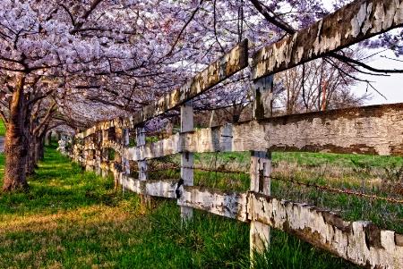 Cherry Blossom Surprise