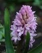 My Hyacinth
