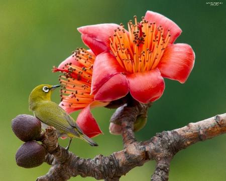 Spring Kapok and little green bird