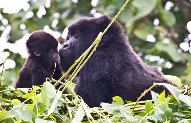 Nyiramurema (mom) with Wakawaka (baby)  [Kwitonda] - ID: 11647378 © Jessica Boklan