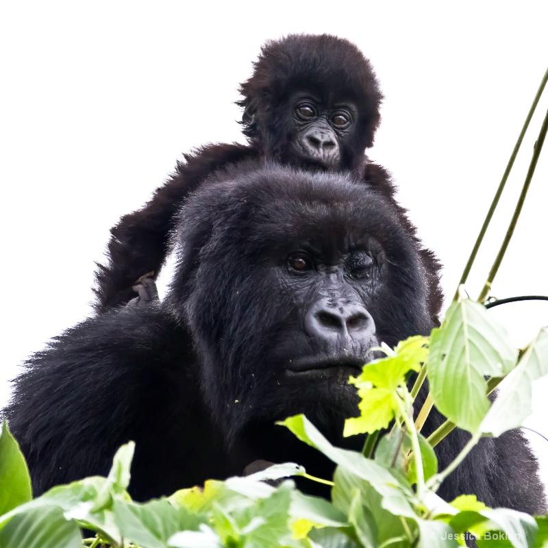 Nyiramurema (mom) with Wakawaka (baby)  [Kwitonda] - ID: 11647382 © Jessica Boklan