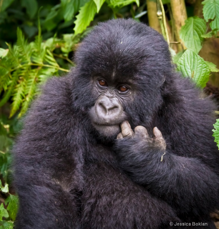 Young gorilla  [Kwitonda family] - ID: 11647384 © Jessica Boklan