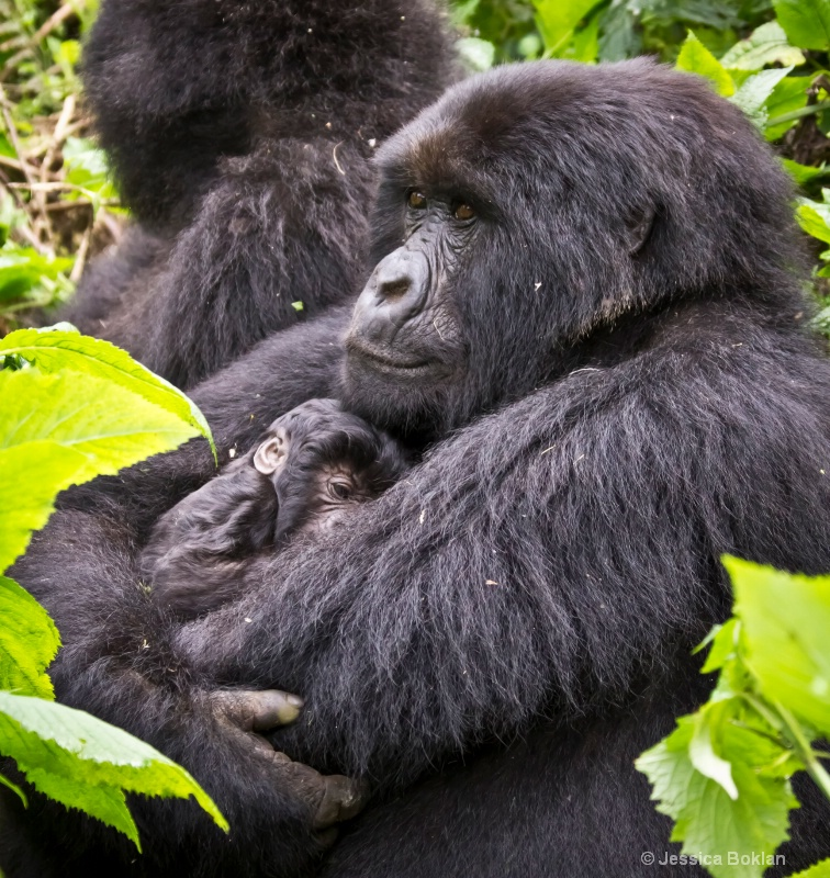 Marambo with 13 day-old newborn  [Kwitonda family] - ID: 11647391 © Jessica Boklan