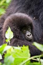 Infant gorilla  [Kwitonda family]