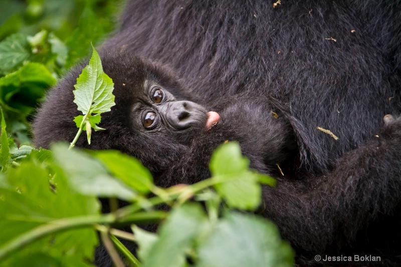 Infant gorillla  [Kwitonda family] - ID: 11647399 © Jessica Boklan
