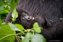 Infant gorillla  [Kwitonda family]