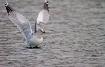 Seagull's lea...
