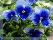 Blue ladies