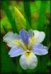 Grungy Iris