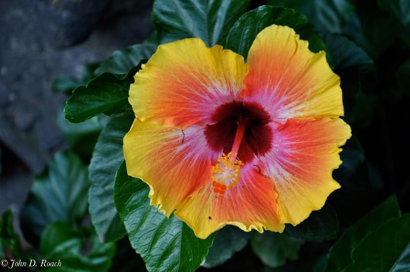 Mexican Hibiscus, Cuernavaca, Mexico - ID: 11660537 © John D. Roach