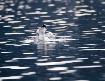 Seagull Splash Do...