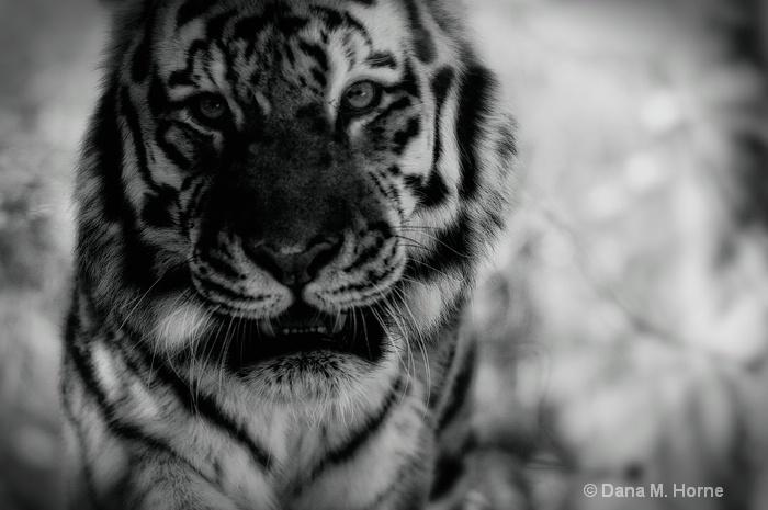 Tiger-Pittsburgh Zoo - ID: 11661433 © Dana M. Scott