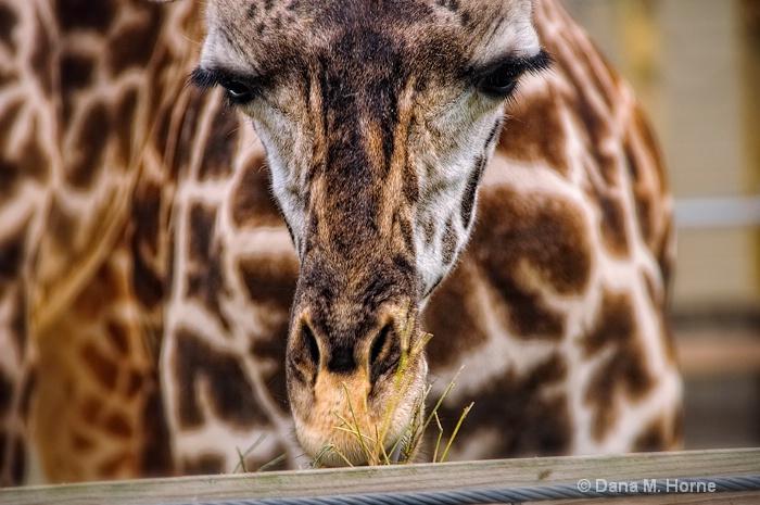 Giraffe-Houston Zoo - ID: 11661436 © Dana M. Scott