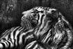 Snow-Tiger Sketch
