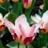 © Kelley J. Heffelfinger PhotoID # 11664439: Sunburst Tulips