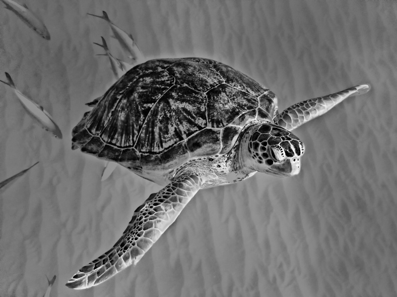 Photography Contest Grand Prize Winner - Wild Sea Turtle
