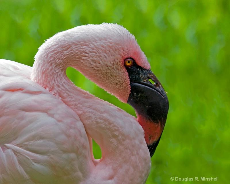 Hawaiian Flamingo 1 - ID: 11668141 © Douglas R. Minshell