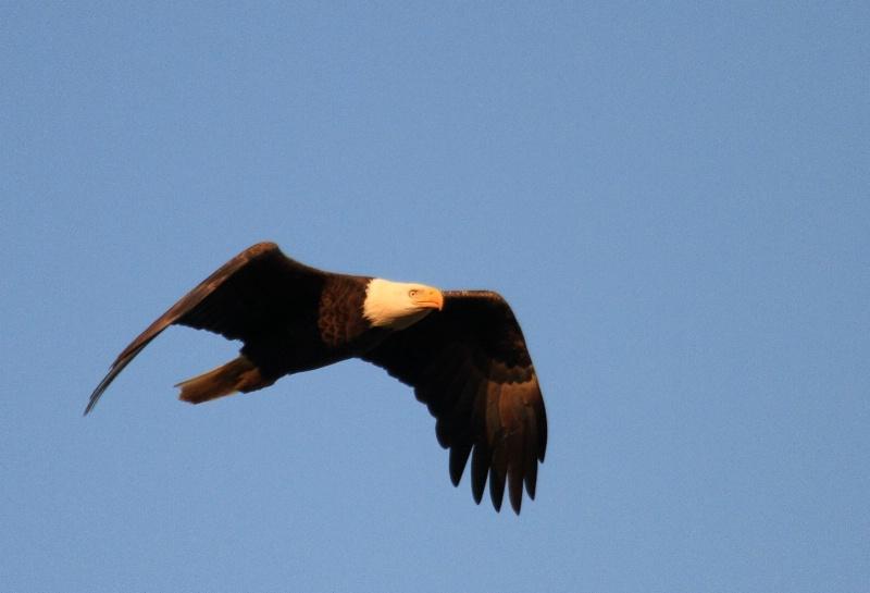 Bald Eagle,    Auburn, Alabama   2.20.11 - ID: 11668970 © Michael S. Couch