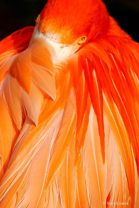 Flamingo - ID: 11672297 © Ron Evans
