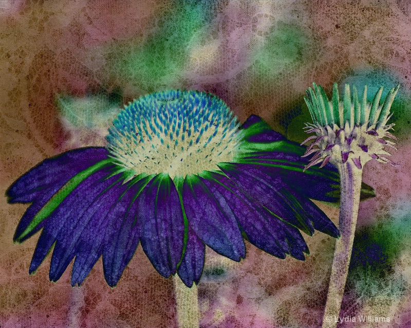 Echinacea and Old Lace