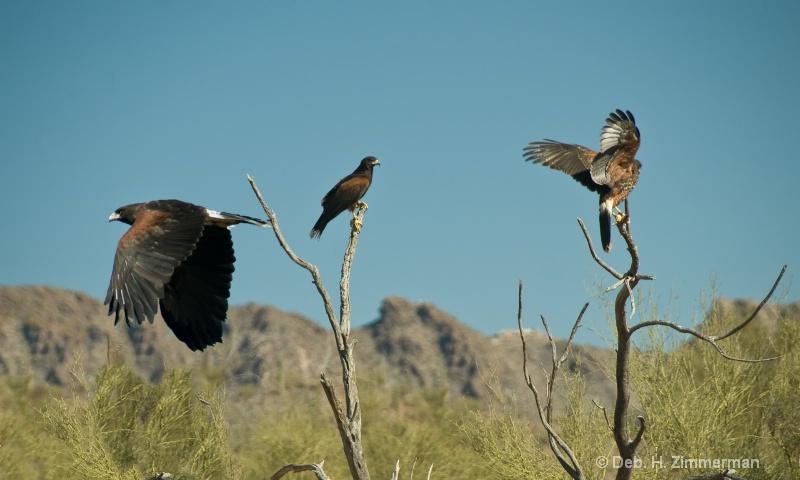 Family of Harris hawks at Sonoran Desert Museum - ID: 11679592 © Deborah H. Zimmerman