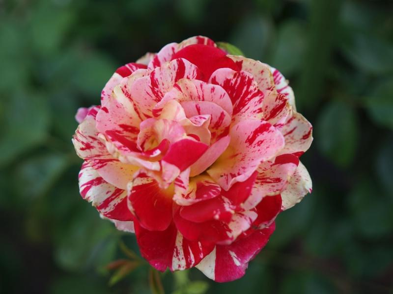 Extra Click- George Burns Rose