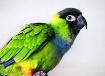 Poco the Parrot