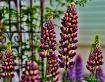 Purple Candy Corn