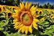 Sunflowers on Mic...