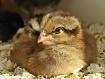 Sleepy Chick