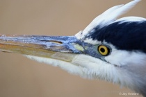 Eye to eye with Great Blue Heron