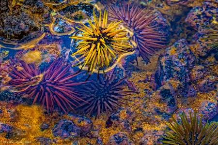 Urchin Universe