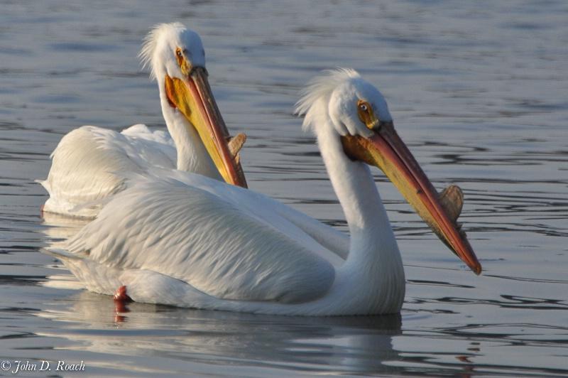 Pelicans - ID: 11690404 © John D. Roach