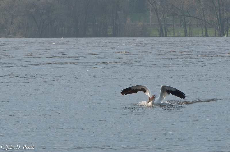 The Pelican has set down - ID: 11690409 © John D. Roach