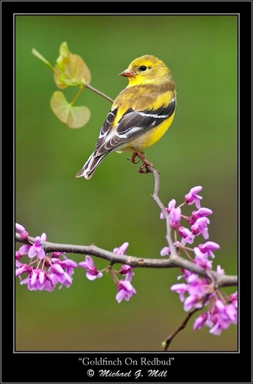 Goldfinch On Redbud