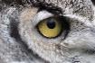 Predators eye