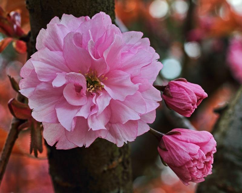 A ruffly pink cherry blossom