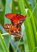 amor mariposa (bu...