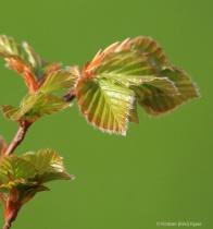 New Beech Leaves
