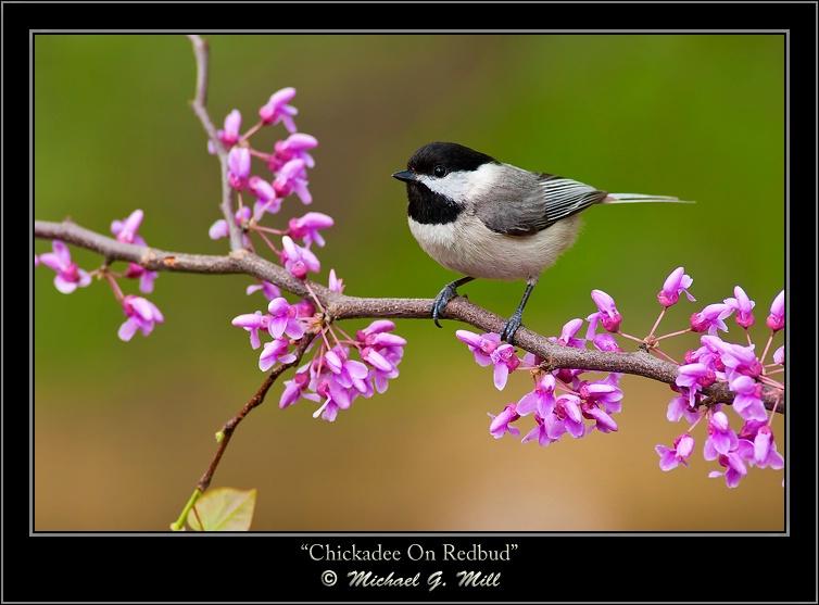 Chickadee On Redbud