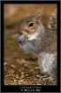 Gray Squirrel Por...