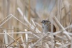 Shy Swamp Sparrow