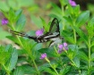 White Dragontail ...