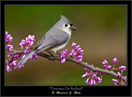 Titmouse On Redbud